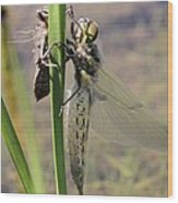 Dragonfly Newly Emerged - First In Series Wood Print