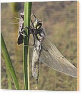 Dragonfly Newly Emerged - Second In Series Wood Print