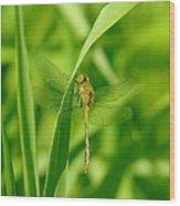 Dragonfly On A Grass Stem Wood Print