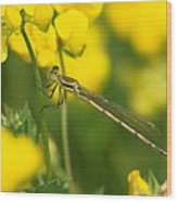 Dragonfly On Birds-foot Trefoil Wood Print
