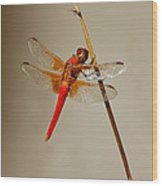 Dragonfly On Dead Reed Wood Print