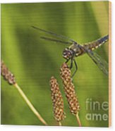 Dragonfly On Seed Pod 2 Wood Print