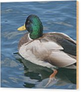Green Headed Mallard Duck Wood Print