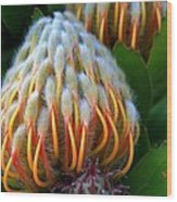 Dramatic Protea Flower Wood Print