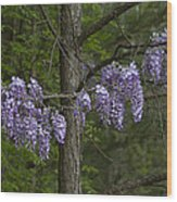 Draping Wisteria Frutescens Wildflower Vines Wood Print