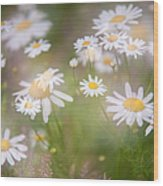Dreamy Daisies On Summer Meadow Wood Print