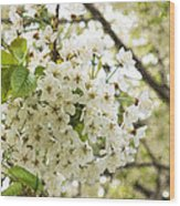 Dreamy White Cherry Blossoms - Impressions Of Spring Wood Print