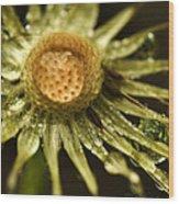 Dried Dandelion After Rain Wood Print by Iris Richardson