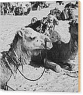 dromedary camels sitting in the sand with saddles in the sahara desert at Douz Tunisia Wood Print