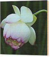 Drooping Lotus Wood Print