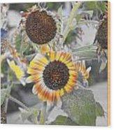 Dry Sunflowers Wood Print