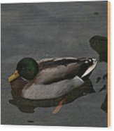 Duck Floating Around Wood Print