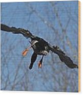 Duck In Flight Wood Print