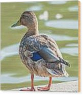 Duckling By The Lake  Wood Print
