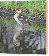 Duckling With Reflection Wood Print