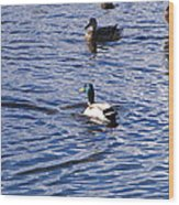 Ducks Swimming  Wood Print