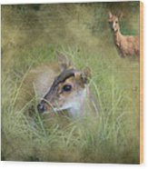 Duiker Endangered Antelope Wood Print
