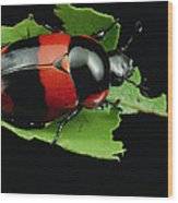 Dung Beetle Panama Wood Print