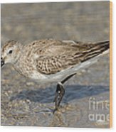 Dunlin Calidris Alpina In Winter Plumage Wood Print