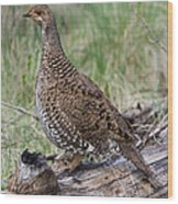Dusky Grouse Dendragapus Obscurus Hen Wood Print