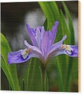 Dwarf Crested Iris Wood Print