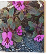 Dwarf Purple Monkeyflower In Lava Beds Nmon-ca Wood Print