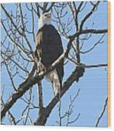Bald Eagle Sunny Perch Wood Print