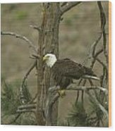 Eagle On A Tree Branch Wood Print
