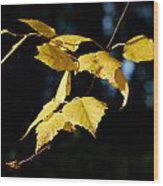 Early Fall Of  Downy Birch Wood Print