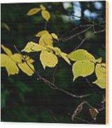 Early Fall Of Wych Elm Wood Print