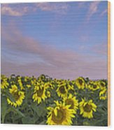 Early Morning Sunflowers Wood Print