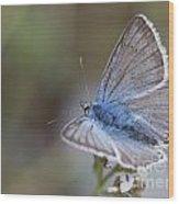 Eastern Baton Blue  Wood Print
