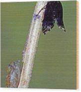 Eastern Black Swallowtail Metamorphosis Wood Print