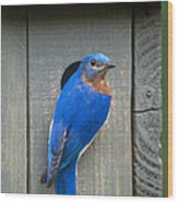 Eastern Bluebird At Nest Wood Print