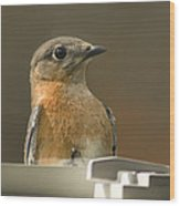 Eastern Bluebird Eye To Eye Wood Print