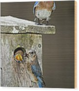 Eastern Bluebird Family Wood Print