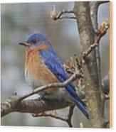 Eastern Bluebird In A Pear Tree Wood Print
