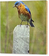Eastern Bluebird Pose Wood Print