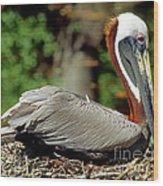 Eastern Brown Pelican Wood Print