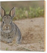 Eastern Cottontail Wyoming Wood Print