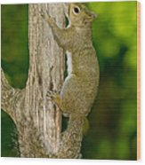 Eastern Gray Squirrel Wood Print