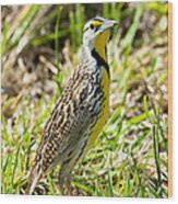 Eastern Meadowlark Wood Print