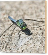 Eastern Pondhawk Wood Print