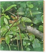 Eastern Pondhawk Female Dragonfly - Erythemis Simplicicollis - On Pine Needles Wood Print
