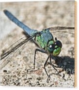 Eastern Pondhawk Side Wood Print