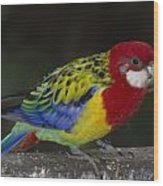 Eastern Rosella Wood Print
