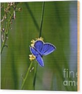 Eastern Tail Blue Butterfly Wood Print