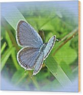 Eastern-tailed Blue Butterfly - Cupido Comyntas Wood Print