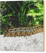 Eastern Tent Caterpillar Wood Print