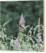 Eastern Tiger Swallowtail Butterfly -  Featured In Wildlife Group Wood Print